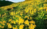 Желтые цветы на холме