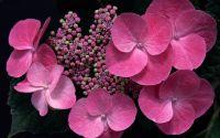 Розовые цветы гортензии