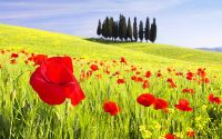 Красный мак Италия
