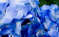 Цветок, голубая гортензия, букет