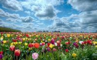Поле, цветы, разноцветные тюльпаны, облака, небо