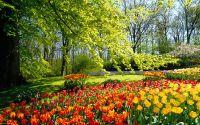 Парк, клумба, деревья, красные и желтые тюльпаны