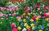 Тюльпаны полевые