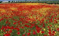 Цветы, поле, красные маки, желтые цветы, холмы