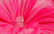 Макросъемка розовый цветок