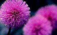 Фиолетовый цветок, красивый букет, пушистый цветок