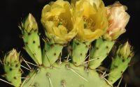 Желтые цветы, цветок кактуса, цветение кактуса