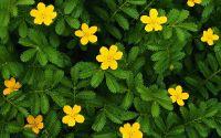 Полевые цветы, куриная слепота, желтые цветы
