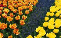 Клумба, ландшафтный дизайн, тюльпаны, цветы