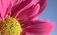 Цветок, космея, розовые лепестки