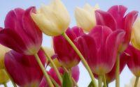 Цветы живые, цветы на поле, желтые и красные тюльпаны