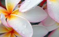 Капли росы на лепестках цветка