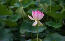 Цветок, лилия, листья, лепестки