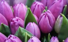 Цветы, сиреневые тюльпаны, зеленые лепестки