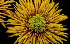 Живой цветок, желтый цветок, тонкие лепестки