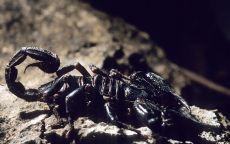 Страшный скорпион