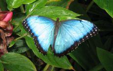 Бабочка Шри Ланка