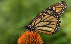 Монарх бабочка