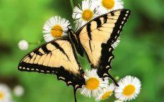 Тигровая бабочка