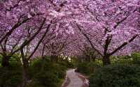 Весна, цветущие деревья, розовые цветки дерева
