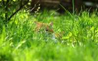 Рыжий кот спрятался в зеленой траве.