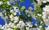 Весенние белые цветы на дереве.