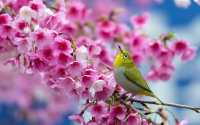 Весна, желтая птичка на ветке с розовыми цветами.
