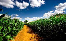 Тропа в кукурузном поле.