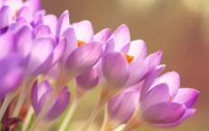 Весна, сиреневые цветы, трава