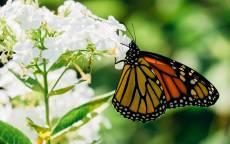 Лето, белые цветы, бабочка, зелень
