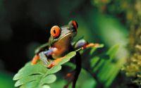Тропическая лягушка