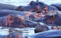 Бегемоты купаются в реке