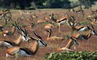 Стадо антилоп отдыхает