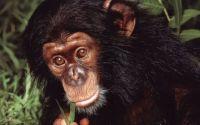 Молодая шимпанзе жует зеленую траву