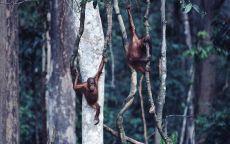 Орангутанги на лианах