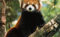 Красная (малая) панда сидит на ветке
