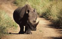Черный носорог идет по пыльной дороге