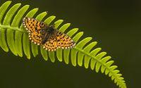 Бабочка с желтыми в крапинку крыльями сидит на зеленом листке