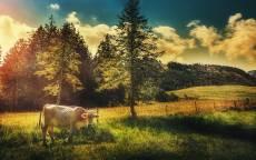 Белая корова, лес, поле, трава, забор
