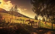 Коровы пасуться на лесном лугу