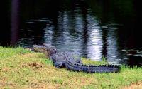 Крокодил в траве