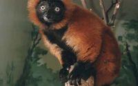 Рыжий Лемур-вари в зоопарке
