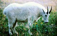 Белый козел на зеленом поле