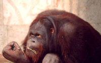 Взрослый орангутанг обедает