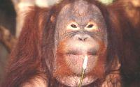 Рыжий орангутанг жует ветку