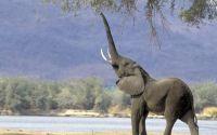 Слон с бивнями тянется хоботом за листьями