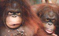 Орангутанг щелкает семечки