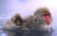 Японские мартышки