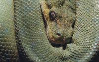 Зеленная змея