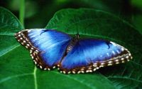 Синяя бабочка Морфо на зеленом листе